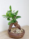 ガジュマル鉢植え茶2015m