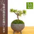 五葉松盆栽20161222m