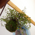 吊り苔玉 ワイアプランツ