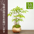 ハゼノキの盆栽