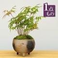 ハゼノキ盆栽