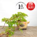 ヘンリーヅタ盆栽