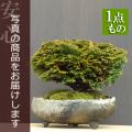 津山桧盆栽