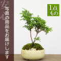 ヒノキ盆栽