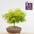 鹿島紅葉盆栽