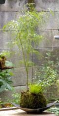 季節の苔玉寄せ植え メイン