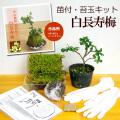 苔玉キット  白長寿梅