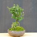 香丁木盆栽