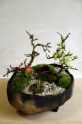 年に数回可憐な花が楽しめます【紅白長寿梅(コウハクチョウジュバイ)の寄せ植え盆栽(炭化焼締鉢)】