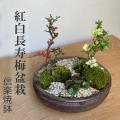 年に数回可憐な花が楽しめます【紅白長寿梅(コウハクチョウジュバイ)の寄せ植え盆栽(信楽焼鉢)】