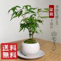 送料無料でお届け!【山紅葉(ヤマモミジ)の盆栽(白陶器鉢)・下皿セット】