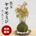 ヤマモミジの苔玉