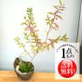 紫式部盆栽