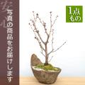 南殿桜盆栽