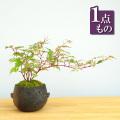 野ブドウ盆栽