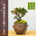 ピラカンサ盆栽