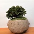 連山ヒノキ盆栽
