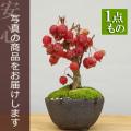 ヒメリンゴ盆栽
