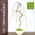 枝垂れ桜盆栽