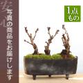 旭山桜盆栽三本植え