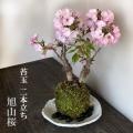 桜・・心和む景色をおとどけします【桜(旭山桜)の二本植え苔玉・楕円白粉引器セット】
