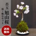 送料無料でお届け!桜・・・そう聞くだけで心和む景色を貴方のもとへ【桜(旭山桜)の苔玉・黒備前器小セット】