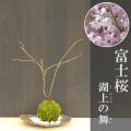 富士桜苔玉くらま器2017m