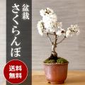 送料無料。盆栽 サクランボ 花を愛で実をたのしめるさくらんぼ 萬古焼・赤鉢 四日市 鉢 桜桃