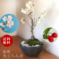 盆栽 サクランボ 花を愛で実をたのしめるさくらんぼ 萬古焼・深丸黒鉢 四日市 鉢 桜桃