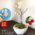 2021年開花終了盆栽 サクランボ 花を愛で実をたのしめるさくらんぼ 萬古焼・深丸白鉢 四日市 鉢 桜桃