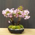 旭山桜盆栽