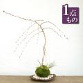 枝垂れ桜の苔玉