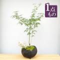 枝垂れモミジ盆栽