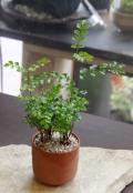 シマトネリコ鉢植え201302m