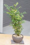 シマトネリコ鉢植え20150210m
