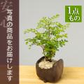 シマトネリコ盆栽