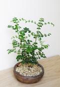 シマトネリコ鉢植え茶2015m