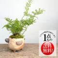 シノブ盆栽
