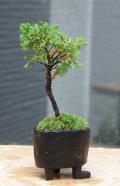 これぞ盆栽!人気の植物【真柏(シンパク)の盆栽(炭化焼締鉢)】