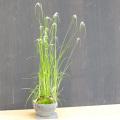 白鷺カヤツリ盆栽