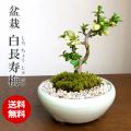 送料無料でお届け!年に数回可憐な花が楽しめます【白長寿梅(しろちょうじゅばい)の盆栽(万古焼白鉢)】