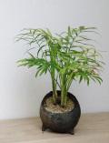 テーブルヤシ鉢植え炭化焼2015m