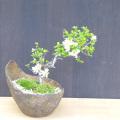 白長寿梅盆栽