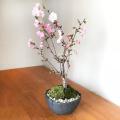 八重の輝き 桜
