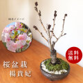 送料無料!桜・・・そう聞くだけで心和む景色を貴方のもとへ 八重の花 【楊貴妃桜の盆栽 信楽茶鉢 】