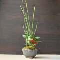 トクサ南天盆栽