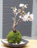 吉野桜苔玉炭化焼締鉢2016m