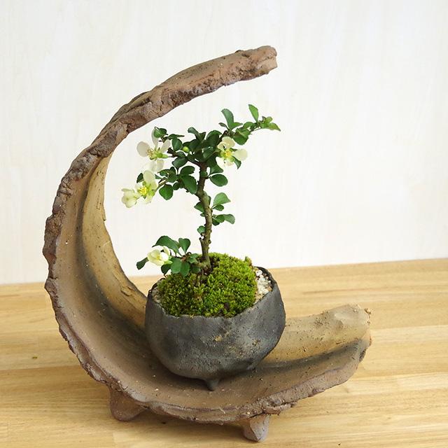 白長寿梅盆栽三日月2016