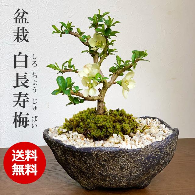 送料無料!年に数回可憐な花が楽しめる【白長寿梅(しろちょうじゅばい)の盆栽(くらま鉢】
