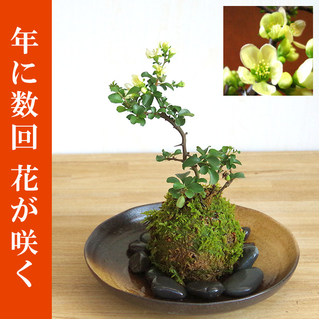 年に数回可憐な花が楽しめます。名前も縁起がいいでしょ?【白長寿梅(しろちょうじゅばい)の苔玉・器セット】